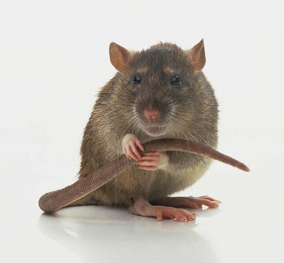 forlorn-rat